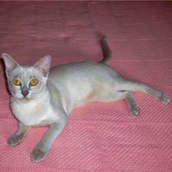 Lilac Burmese Female